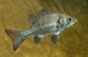 native fish species for sale my cms