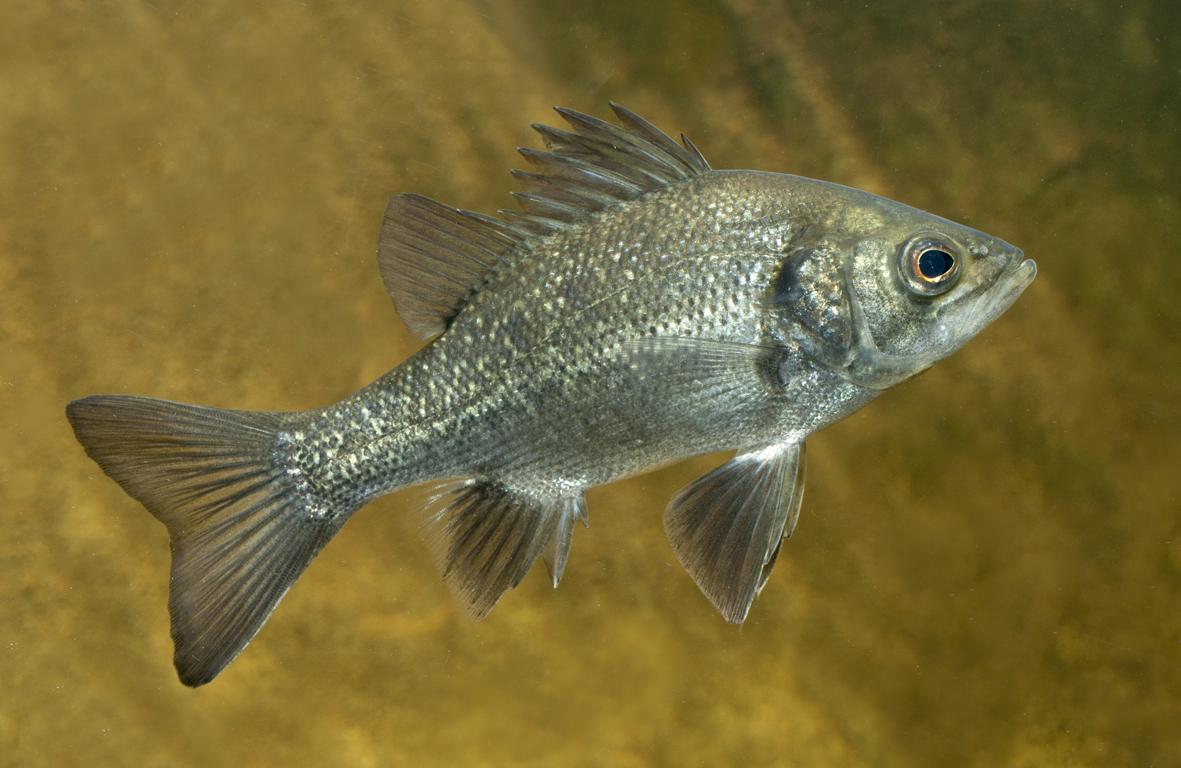 Aquaponics and Aquarium Fish | Glenwaters Native Fish