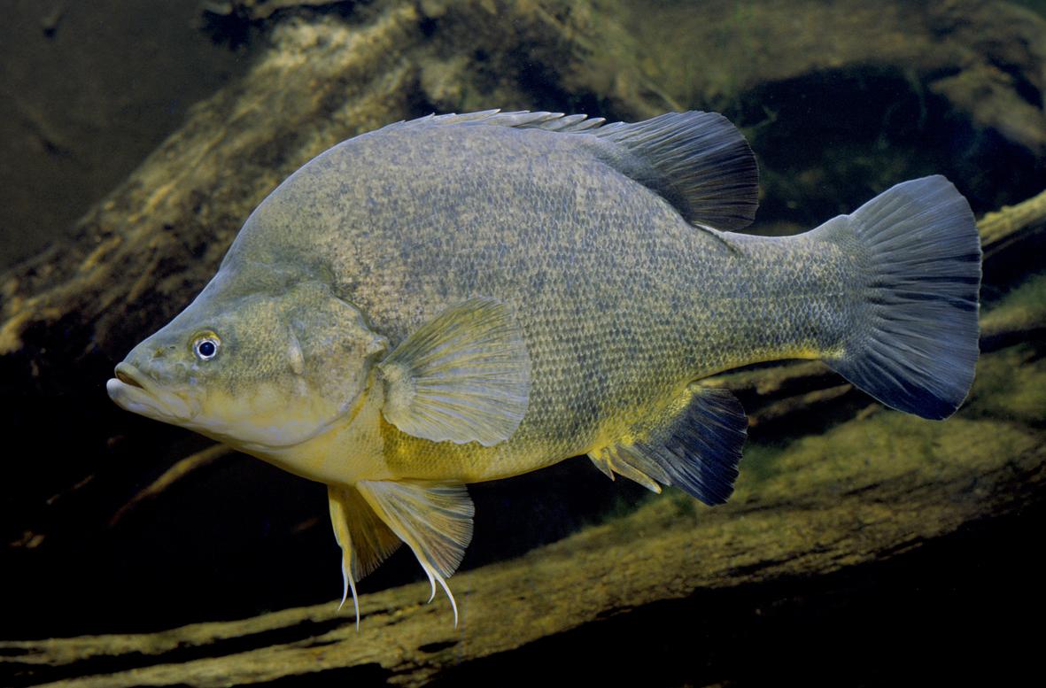 golden fish aquarium